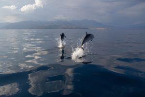 Delfine_im_Golf_von_Korinth,_Griechenland